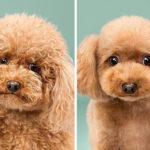 Perros: antes y después del corte de pelo
